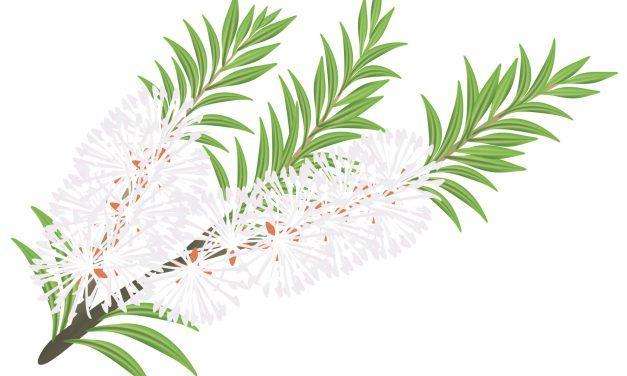 Teebaumöl gegen Kopfläuse