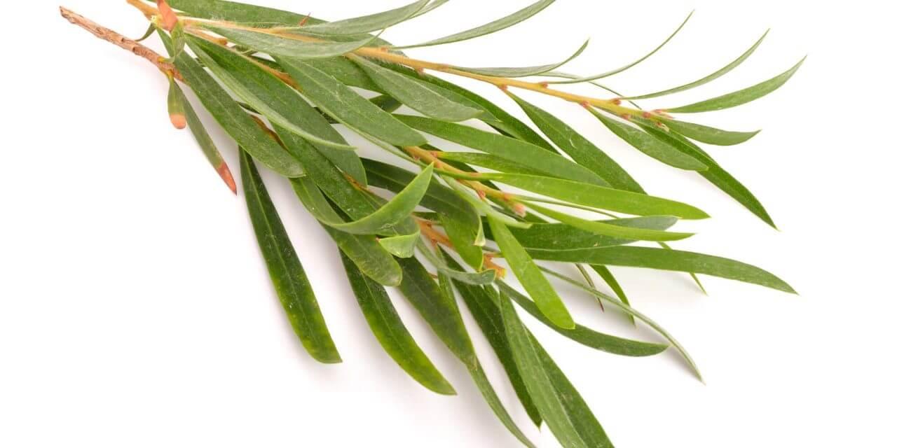 Teebaumöl gegen Arthritis