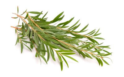 Teebaum Öl gegen Körperakne