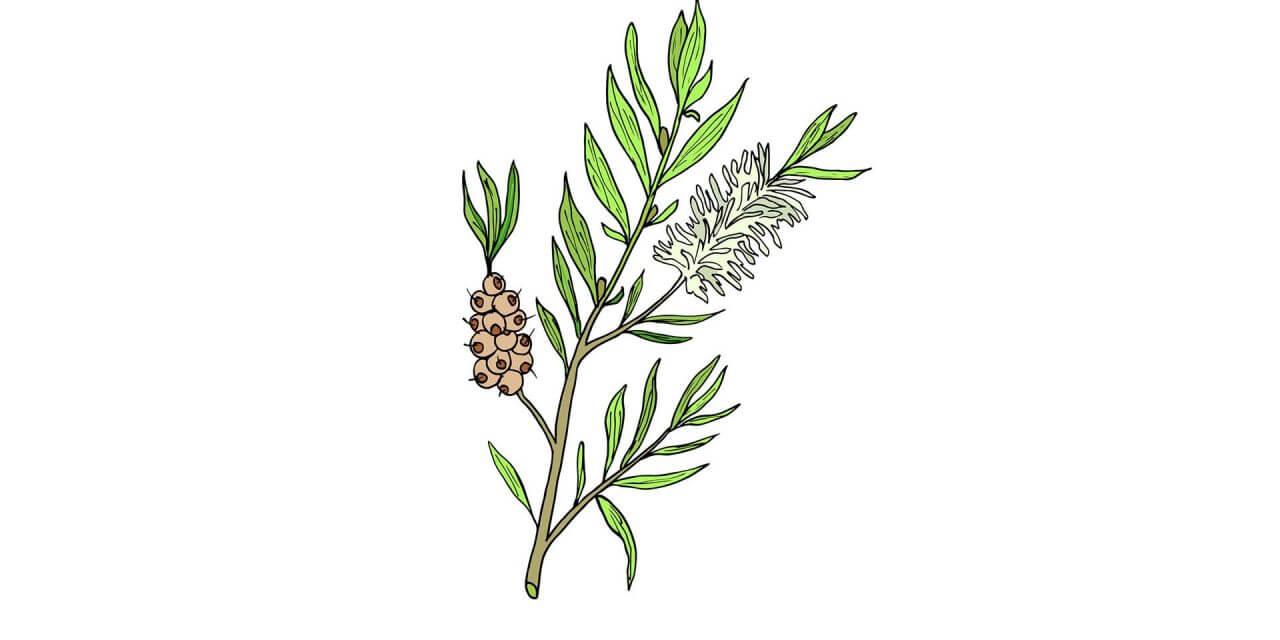 Wie man Narben mit Teebaumöl reduziert.