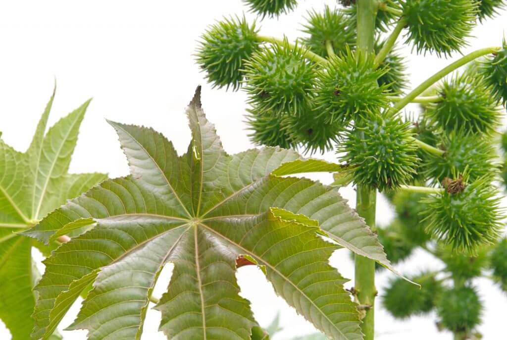 Rizinusblatt und Samen