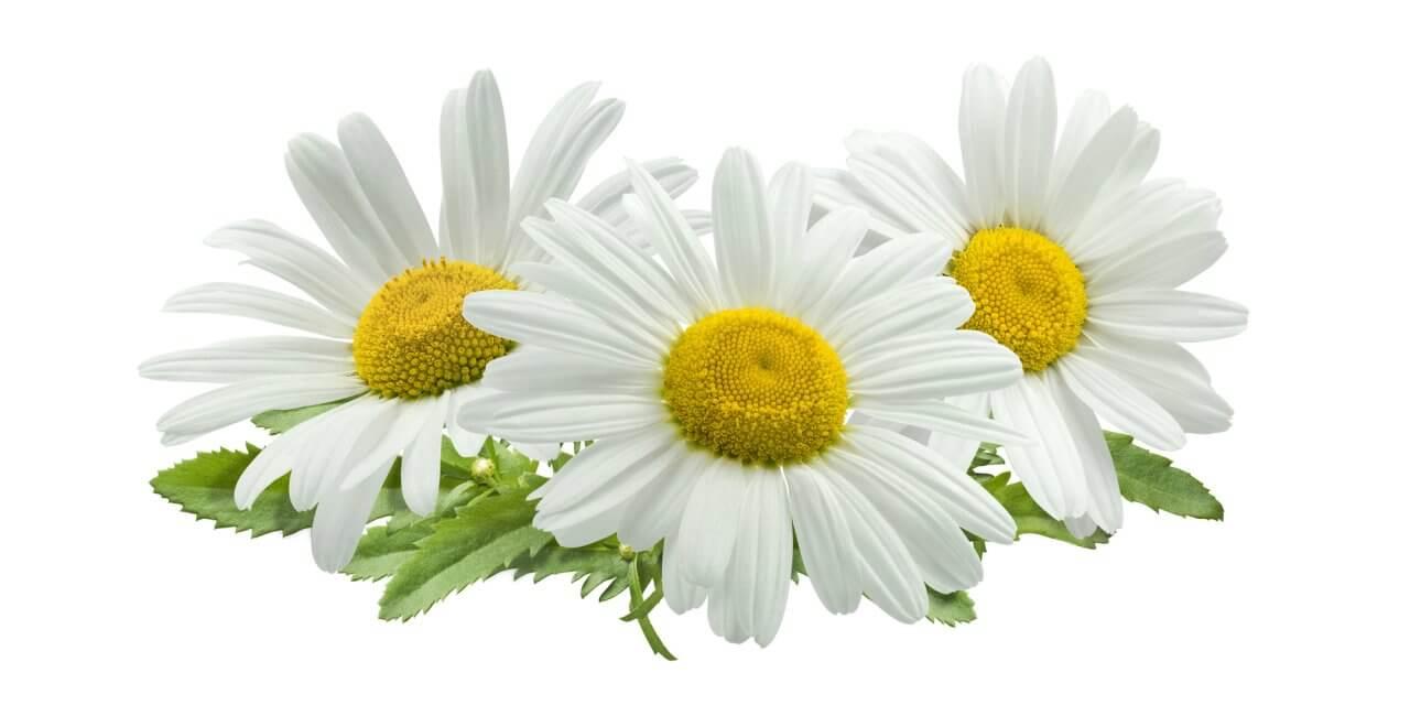 Kamillenöl in der Aromatherapie