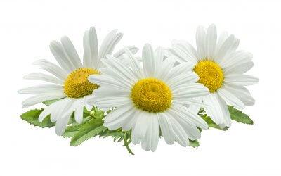 Heilkräuter – Alles über die Kamille