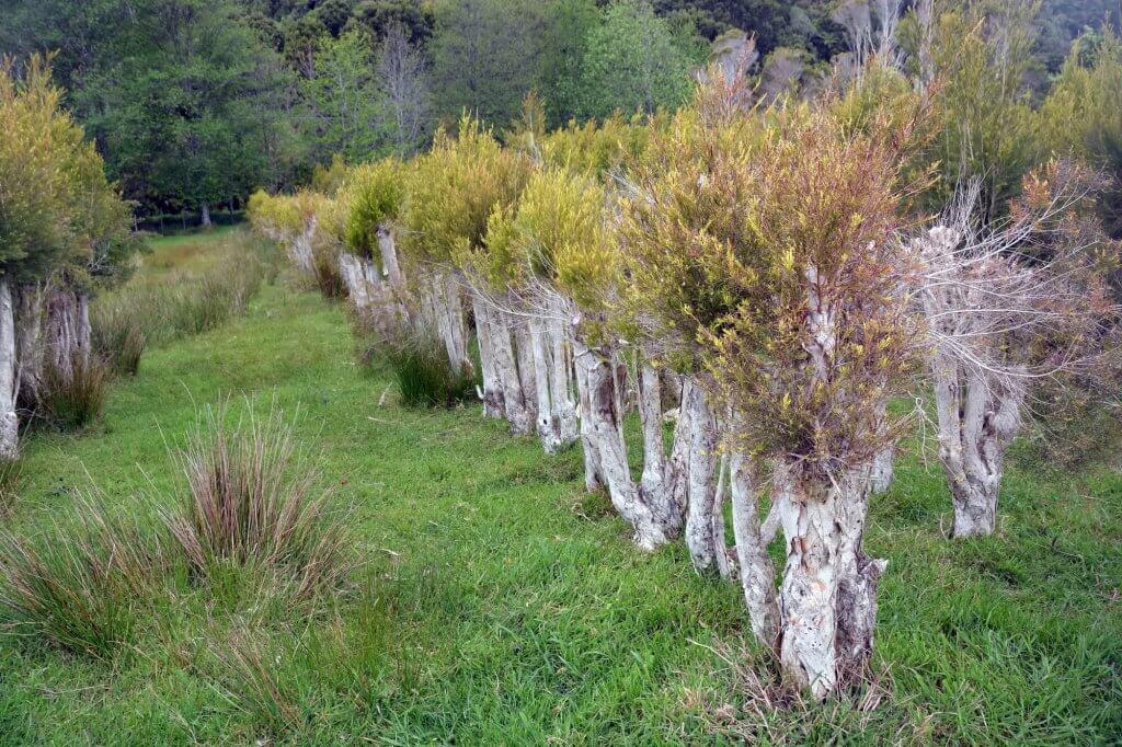Teebaum Plantage