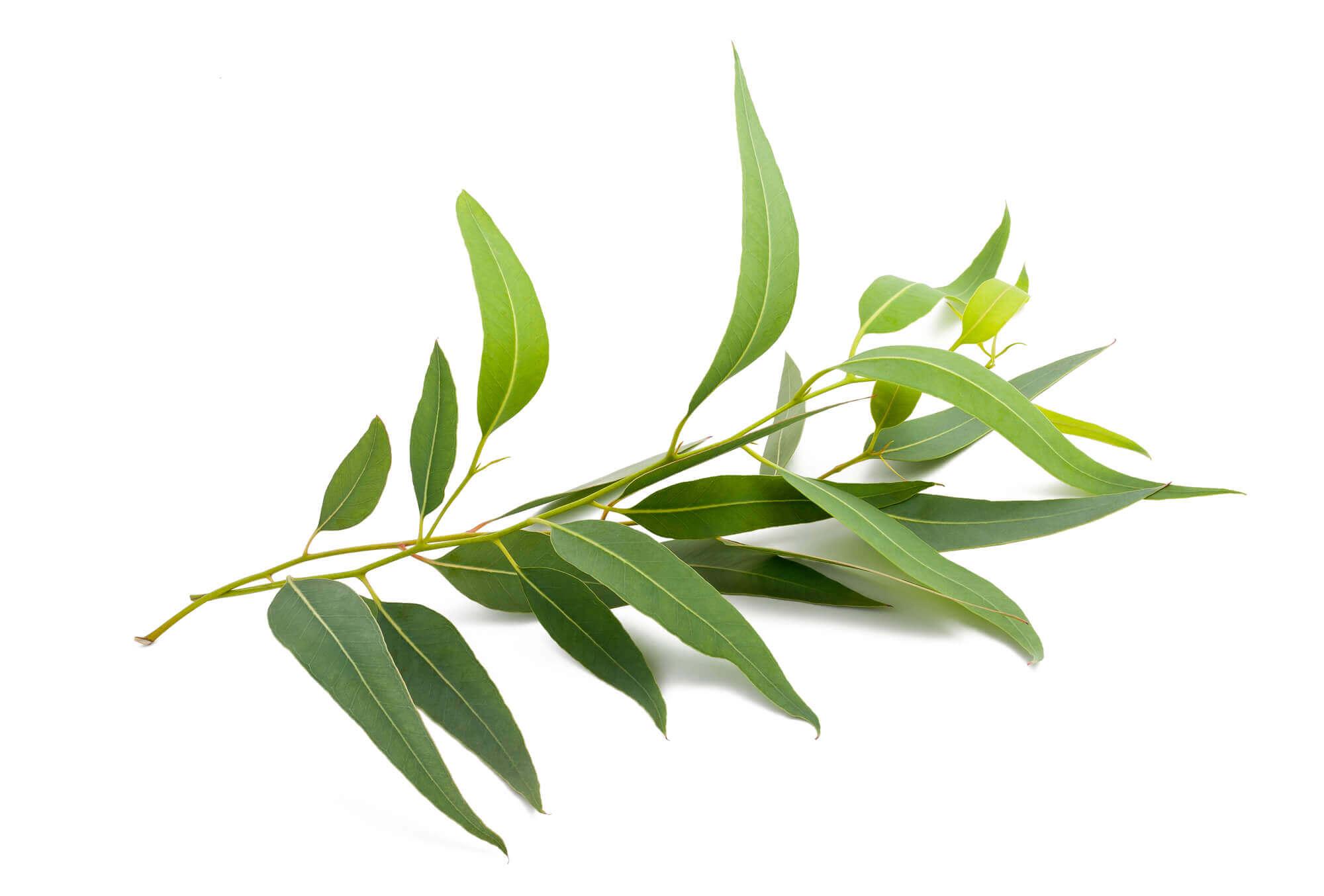 Eukalyptusöl Blätter