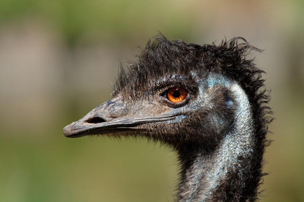 Kopf eines Emu