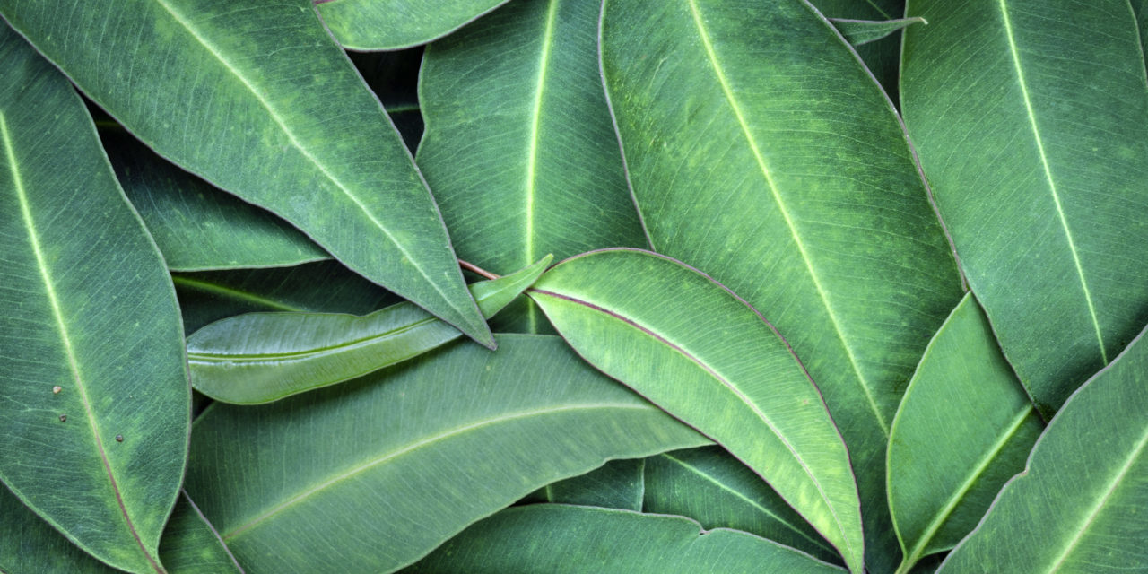 Eukalyptusöl und Hautpflege