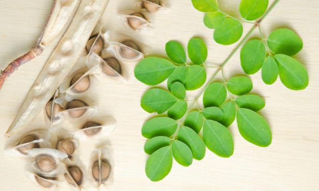Moringa Öl aus dem Samen